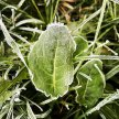 Foraging when it's freezing! Late winter edible plants image