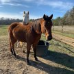 Herd Meditation with Folly Farm and Knowing Horse:  Next scheduled meditation is June 19, 2021 image