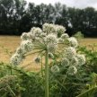 Umbellifers: an introduction to the carrot family course - Cambridgeshire image