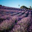 Monte-Bellaria Lavender High-Bloom 2021 image