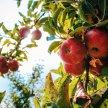 Fruit Trees: Pruning, Care & Selecting Varieties image