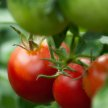 All Things Tomato image