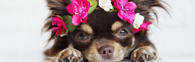 Fest of Chihuahuas - Summer of Love