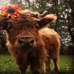 Cow Puja &  Farm Fair image