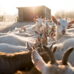 Introduction to Keeping Goats image