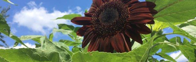 Spectacular Sunflowers