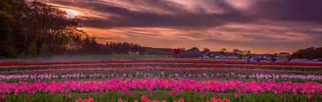 Wicked Tulips Virtual Tulip Experience