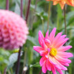 Pick your own dahlias (and other flowers) image