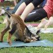 Goat Infused Yoga image