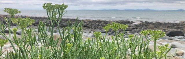 Umbellifers: an introduction to the carrot family course - Nottinghamshire