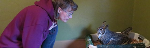 Real Life Great Horned Owl Soap Opera: Learning their language