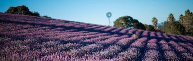 Monte-Bellaria Lavender High-Bloom 2021