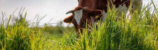 Cows eat grass, don't they?