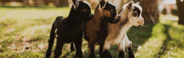 Maan Farms Goat Yoga 2020