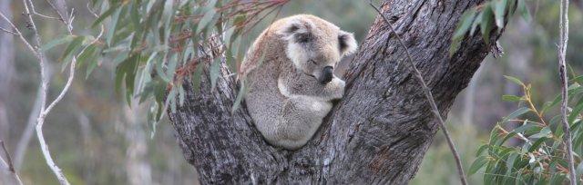 S4W Koala Projects - Post-bushfire Updates (Lower Blue Mountains/Western Sydney)