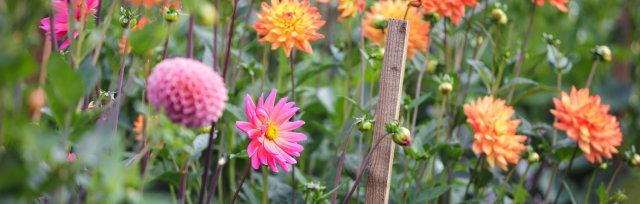 Pick your own dahlias (and other flowers)