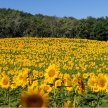 VIRTUAL Sunflower Experience- Private Facebook Group image