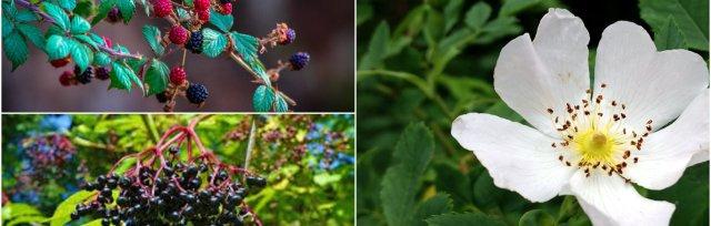 Hedgerow Medicine & Foraging Part 2