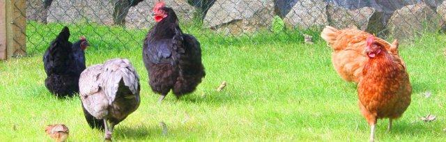 Poultry Keeping, Breeding, Eggs & Health with Julian Pawlowski
