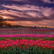 Wicked Tulips Virtual Tulip Experience image