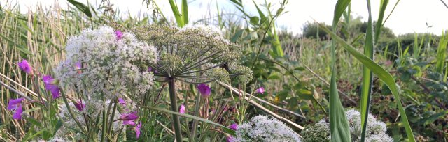 Cambridgeshire Summer Wild Food Foraging Course/Walk