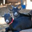 Valentines Day with Goats image