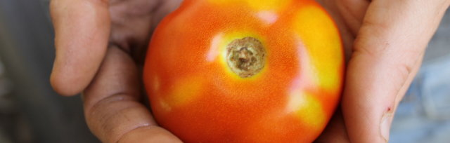 All Things Tomato