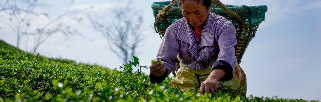 Certified Tea Sommelier: New Zealand & Queensland