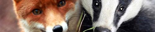 FoxAndBadge