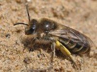 Busy Backyard Bees: Rediscovering Native Pollinators image